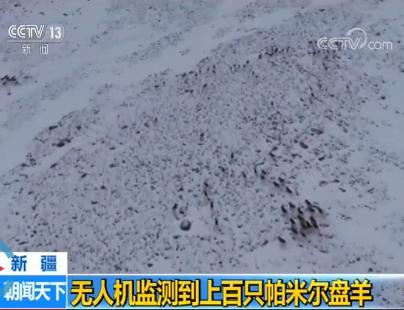 雪山之巅的高原精灵!无人机监测到上百只帕米尔盘羊