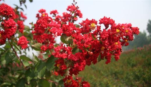 部分观赏草和美国紫薇可在沧推广种植