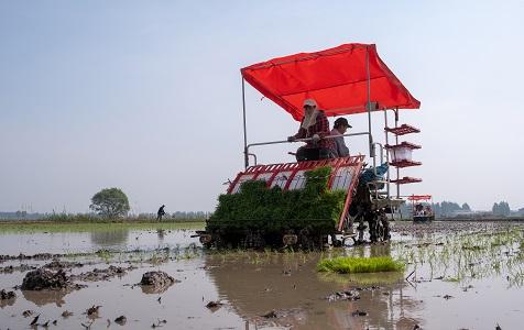河北雄安:白洋淀农民抢抓农时种植水稻