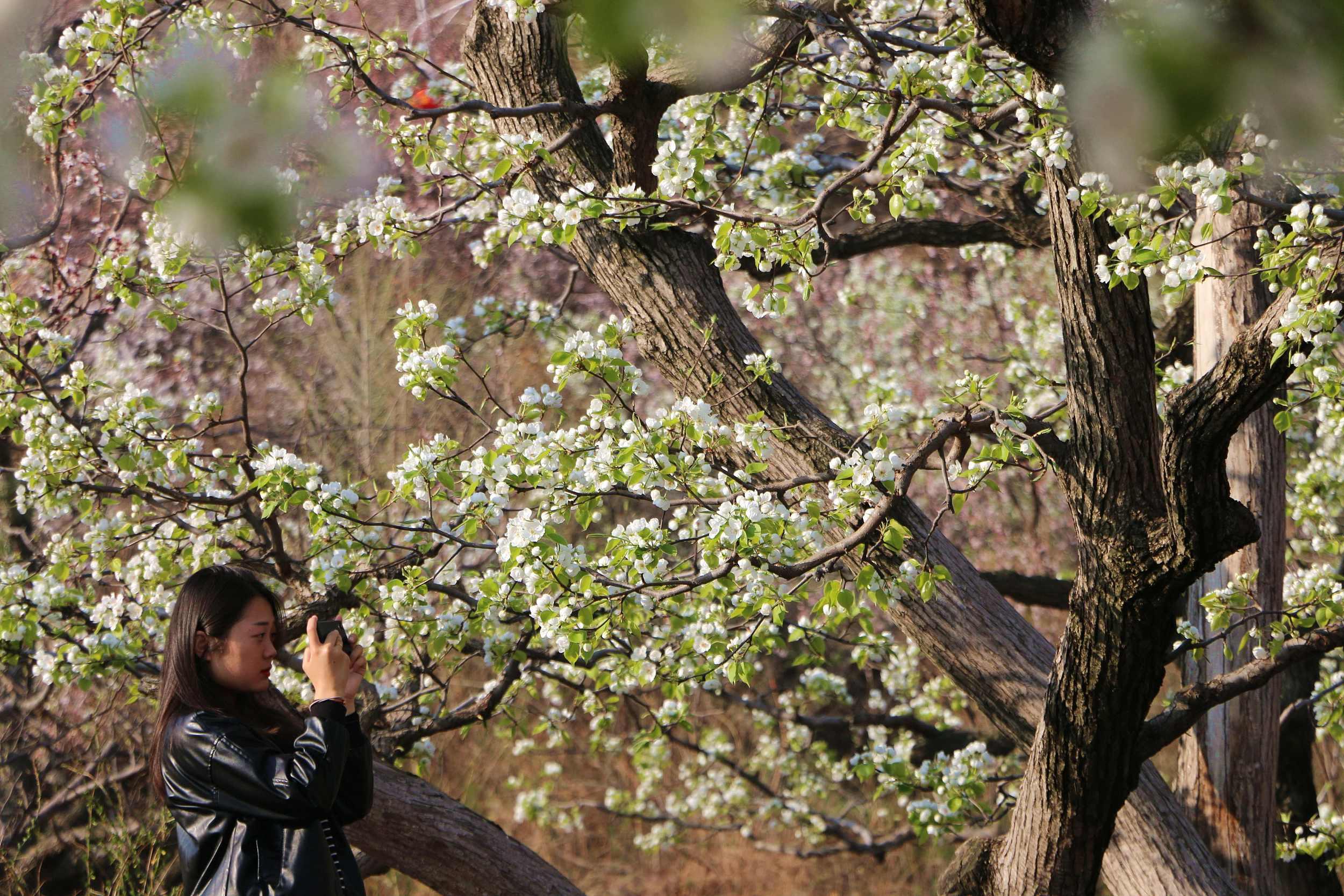 河北承德:春到燕山 梨花飘香