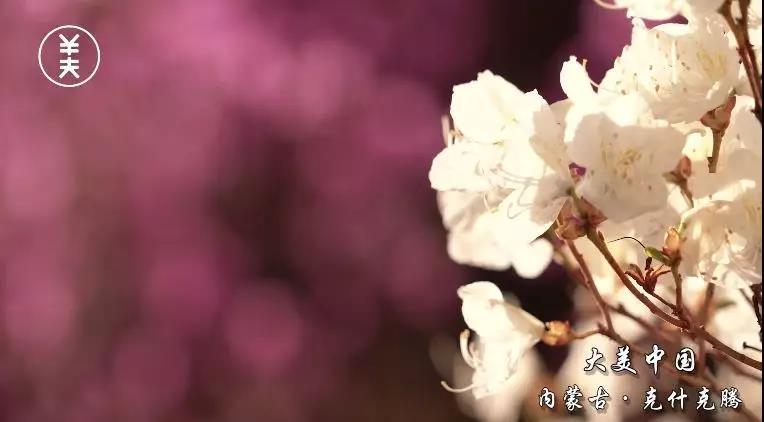 【大美微视频】杜鹃花正浓,赏花正当时!
