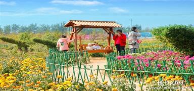 河北肥乡:小菊花成就大产业