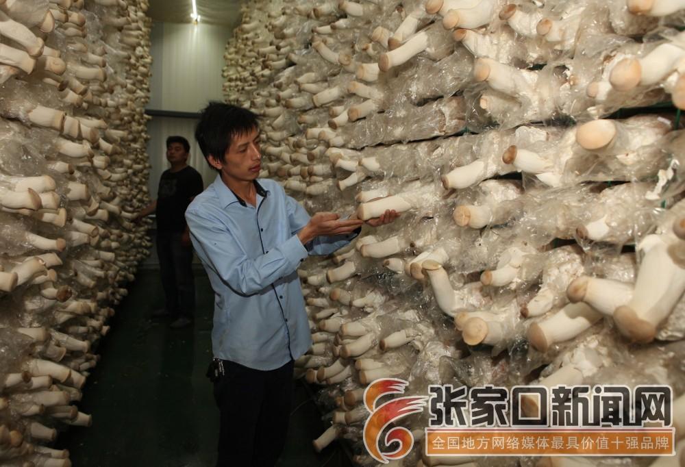"""在""""口蘑之乡""""盛名下的食用菌种植"""