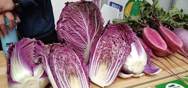 蔬菜新品种亮相中国(曲周)蔬菜种业博览会