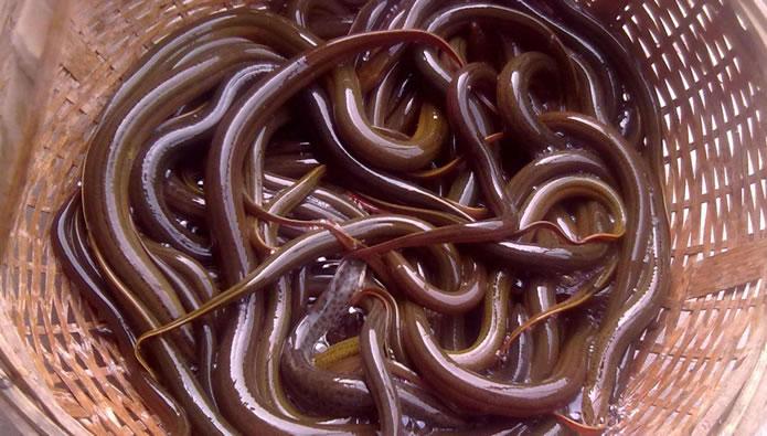 黄鳝又大又肥皆因科学饲养 与避孕药无关
