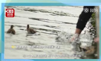 """西湖鸳鸯屡遭""""黑手"""" 今年已死亡18只"""