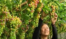 河北唐山:葡萄種植助推鄉村振興