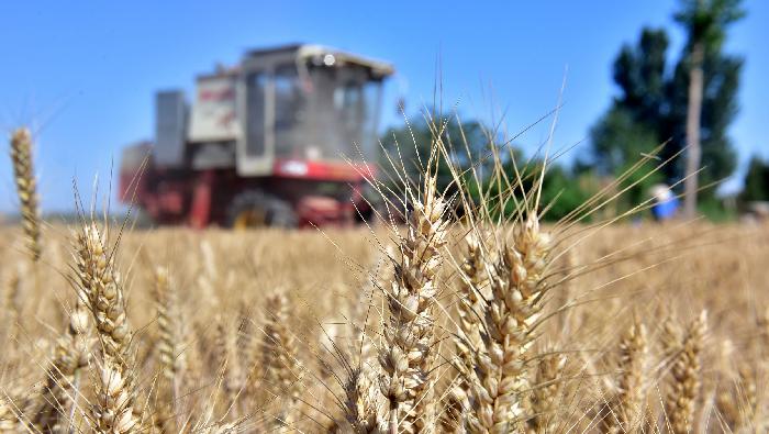 石家庄:麦收时节收获忙