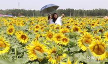河北平鄉:致富油葵花爭艷