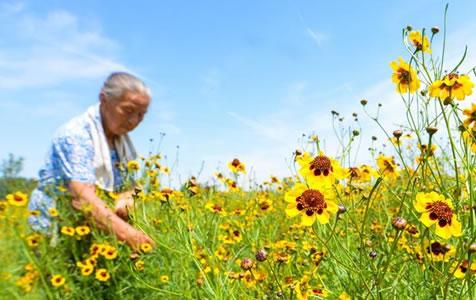 菊花种植富农家