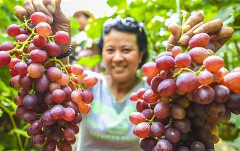 河北永清:暖棚葡萄采摘乐