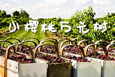 【微视频】冀果系列之樱桃|小樱桃 万元树