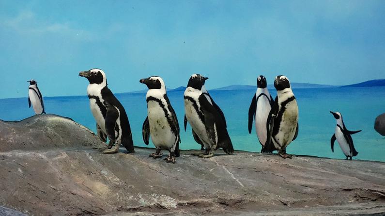北京:海洋馆迎来稀有非洲企鹅