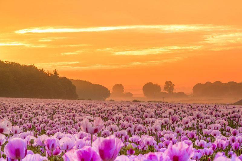 英国粉红花海