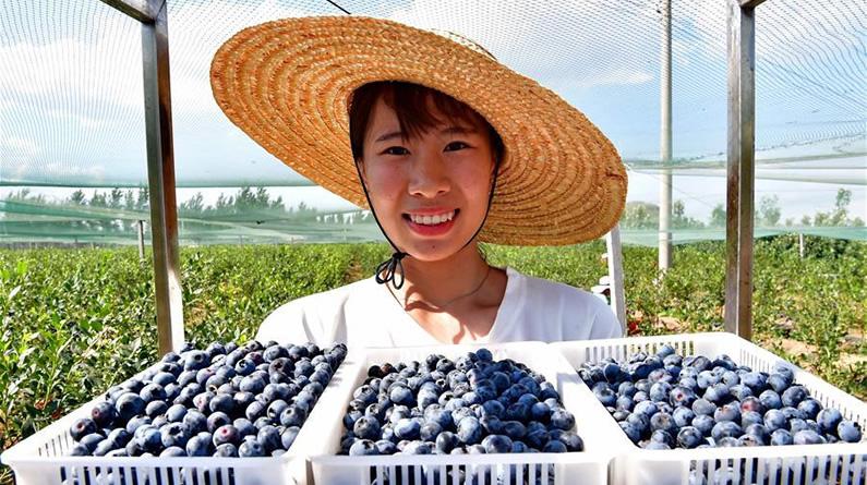 河北滦州:蓝莓飘香富农家