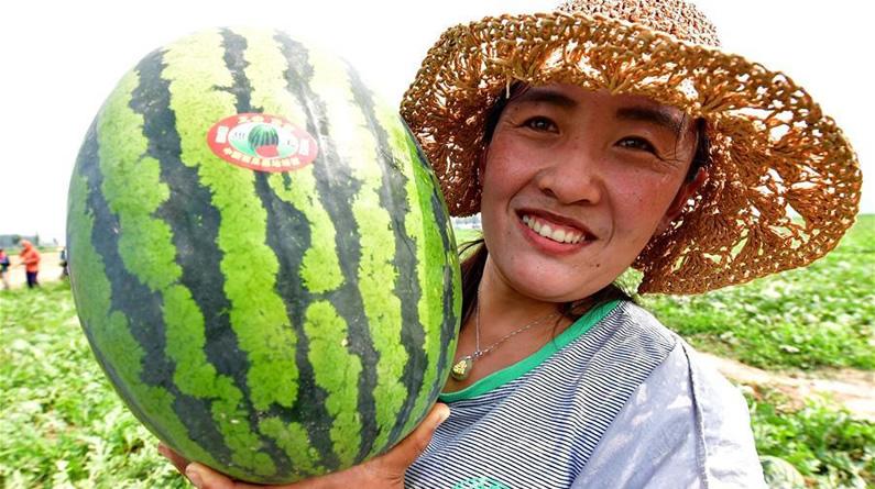 """河北滦南:万亩西瓜""""甜农心"""""""