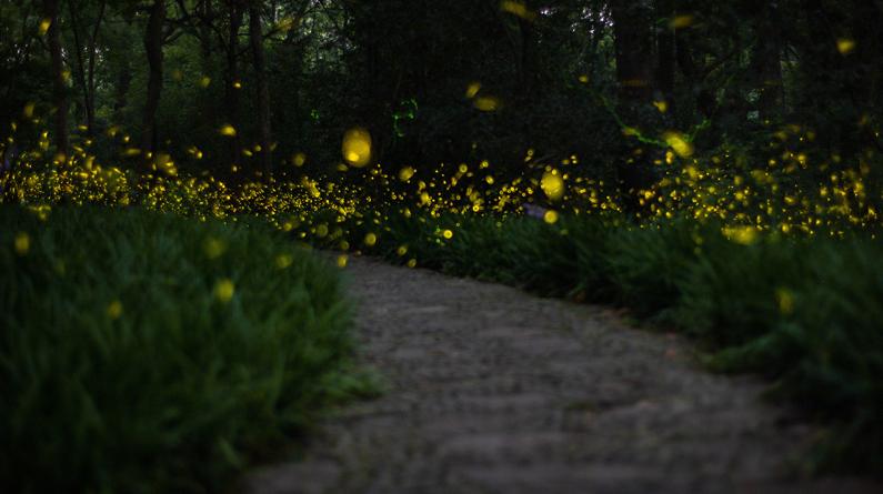 南京紫金山萤火虫飞舞 美如繁星