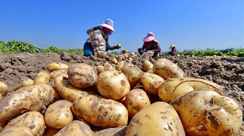 """河北滦州:马铃薯成为农民增收的""""金疙瘩"""""""