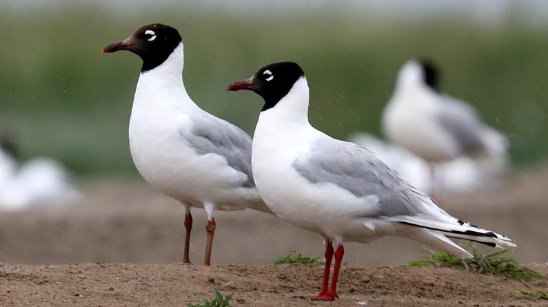 河北张家口:遗鸥保护摄影周开幕 康巴诺尔国家湿地公园遗鸥成群