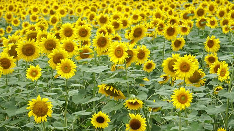 北京奥森公园百亩向日葵盛放