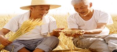 河北:气象部门助小麦颗粒归仓