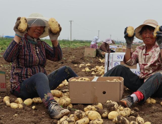 【摄影报道】玉田:马铃薯助菜农增收