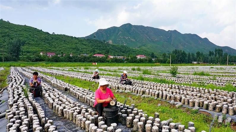 河北青龙:食用菌培育促增收