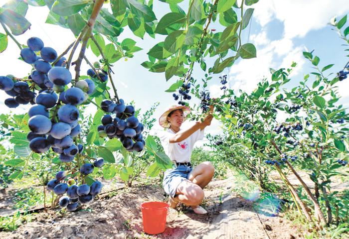 滦州: 蓝莓飘香富农家