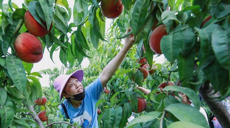河北邯郸:特色农业助农增收