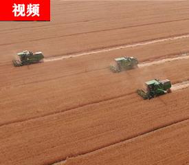 定州这地儿收割的小麦全是黑的……