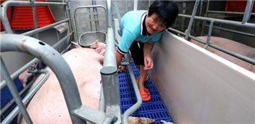農業農村部調整跨省調運種豬產地檢疫要求