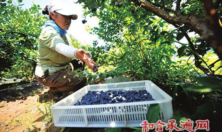 藍莓熟農家樂