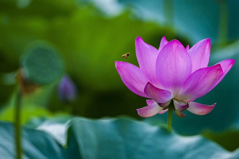 山东潍坊:暑日荷塘别样美