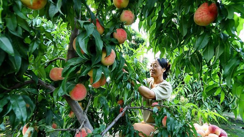 """河北乐亭:鲜桃产业""""映红""""乡村经济"""