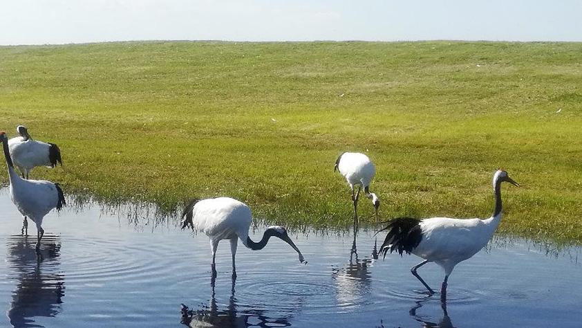 """从""""人鸟争食"""" 到""""人鹤和谐""""——湿地生态保护的""""扎龙探索"""""""