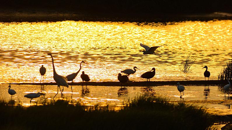 青岛:水面波光潋滟 鹭鸟夕阳下翔集美如画
