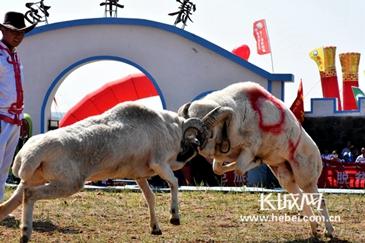 """尚義賽羊會:快來看運動場的""""羊明星""""!"""