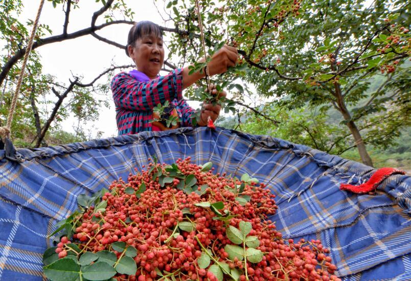 涉县:花椒产业铺就致富路