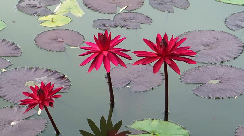 北京植物园睡莲雨后展现别样美 娇艳妩媚惹人醉