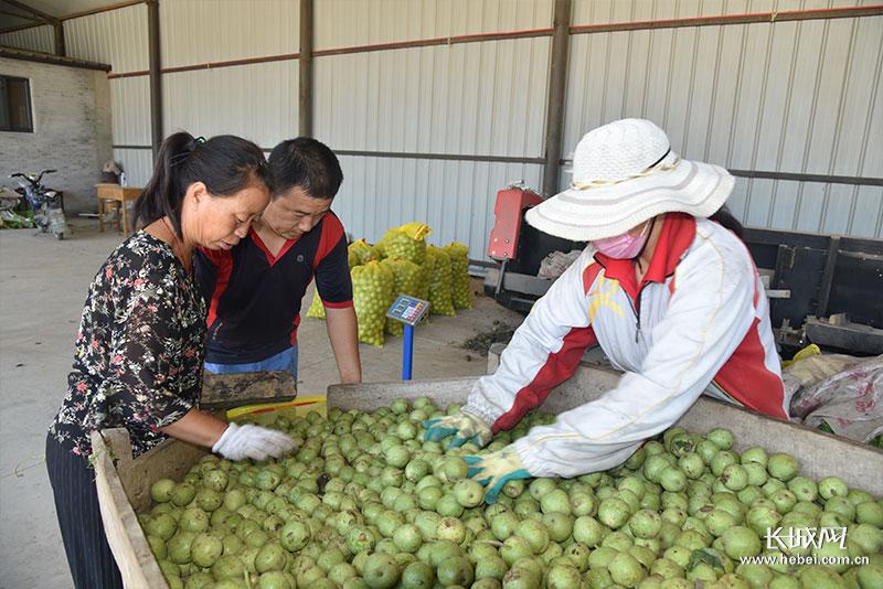 """小核桃""""种出""""大效益 栾城区农业结构调整促农增收"""