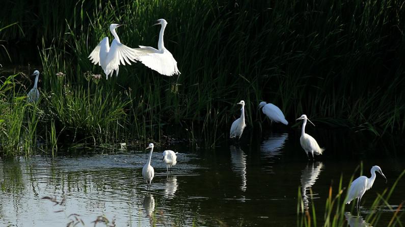河北张家口:洋河湿地白鹭飞舞
