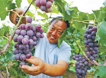 永清:葡萄产业带动百姓致富