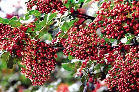 石家庄:发展小花椒 建设大产业