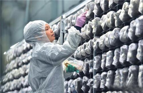 河北贊皇︰特色蘑菇種(zhong)植鋪就致富路