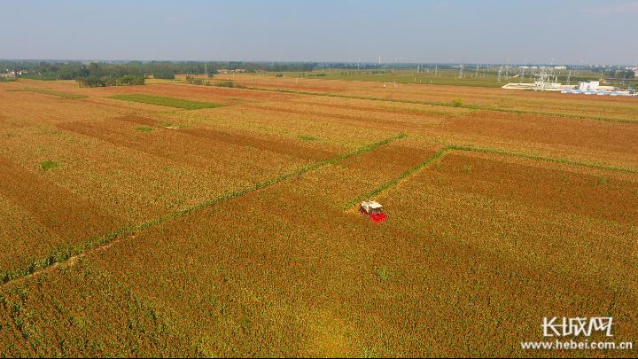 阜城10万亩高粱红了,农民的日子火了!