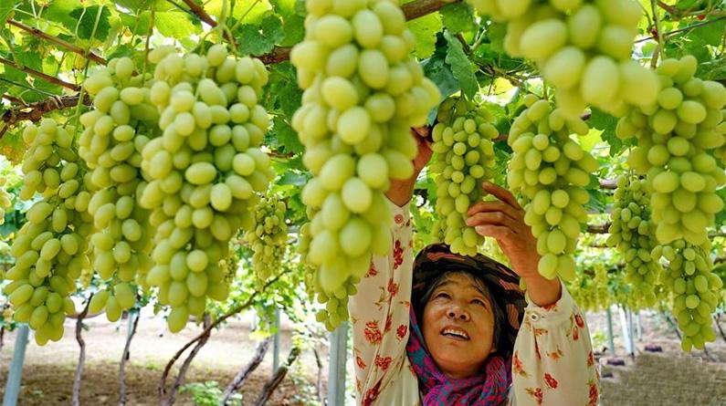 河北怀来:葡萄飘香惠农家