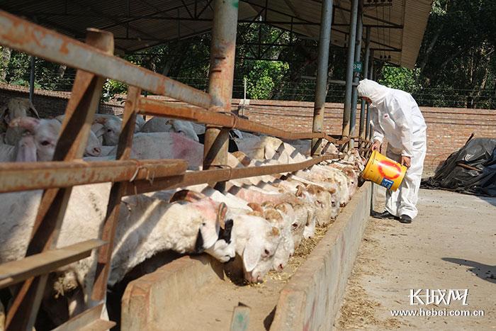 【壮丽70年·奋斗新时代·品牌农业河北行】唐县羊肉:严格监管促进产品优质