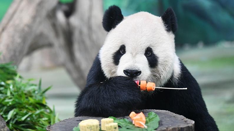 """大熊猫吃""""月饼""""过中秋"""