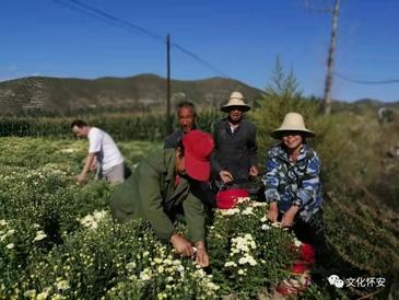 胎菊产业助增收,农民喜悦采摘忙