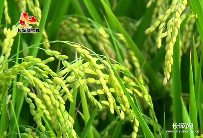 【河北省农业品牌系列报道】③涿州:盛产贡米的好地方